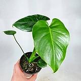 몬스테라 소품 공기정화식물 한빛농원