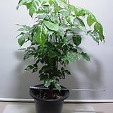 신종녹보수7번-높이 160센치-최고공기정화식물-동일품배송|Sedum dendroideum