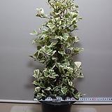 스윗하트고무나무 11번-대품-공기정화 우수식물-동일상품발송|