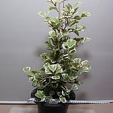 윗하트고무나무 12번-대품-공기정화 우수식물-동일상품발송|