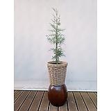 블루아이스(엘사트리)+바구니세트 인테리어 공기정화식물|Echeveria blue ice