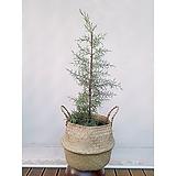 블루아이스(엘사트리)+라탄바구니세트 인테리어 공기정화식물|Echeveria blue ice