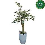 해피트리 개업 축하화분 거실인테리어 식물선물 DLP-384|