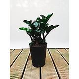 보석금전수 돈나무 화초 거실 현관 인테리어식물|variegated