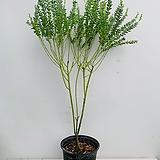 삼각잎 아카시아 / 동일품배송/ 높이 110 너비 55|