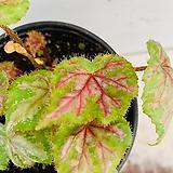 스트로베리 베고니아 / 동일품배송|Echeveria Strawberry