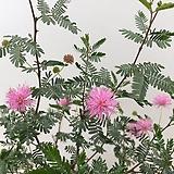 고려자귀나무 동그랗고 작고 귀여운 보라색꽃이 너무도 이쁜아이|