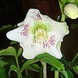 크리스마스로즈 Christmas rose Helleborus orientalis. |Echeveria Agavoides Christmas