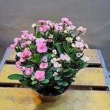웨딩꽃기린(12센치) 꽃이 피고지고해요(생명력 강해요)