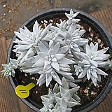 화이트그리니 2501 Dudleya White greenii