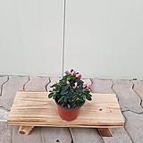 철쭉 금황(소품)|variegated