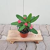 꽃기린(소품) 빨강큰꽃 8|