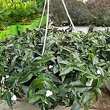 엘레강스(행긴)|Echeveria elegans