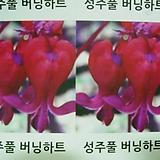 성주풀-버닝하트-8-12촉-뿌리묘|