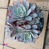 라우렌시스 대품|Echeveria Laulensis
