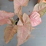 [고급식물] 싱고니움 네온 로부스타(neon robusta)|