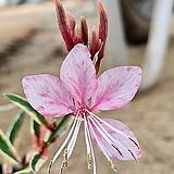 무늬 바늘꽃 (가우라) 1set 4포트|