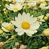 노랑 목 마가렛 (1set 4포트)|Echeveria halbingeri