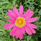 핑크 목마가렛 (1set 4포트)|Echeveria halbingeri
