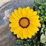 가자니아 (노랑) 1set 4포트|