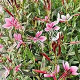 분홍 바늘꽃 (1set 4포트)|