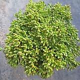 소인제 2633 Aeonium sedifolius