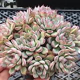머릿수많은 황홀한연꽃 컷한몸군생|Echeveria pulidonis