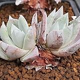 파키필라 402-2182|Dudleya pauciflora