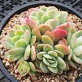 라즈아가  컷팅군생|Echeveria agavoides sp
