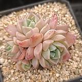 핑크스팟|Echeveria Pink spot