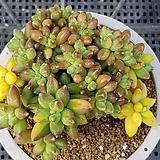 천대전송금 226|Pachyphytum compactum