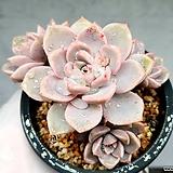 핑크프리티 11-449 Echeveria Pretty in Pink