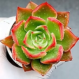 롱기시마교배종 11-477 Echeveria longissima hyb