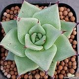 환엽마리아  잘생겼어요  물듬부족으로특가로드려요  0288 산아래다육이|Echeveria agavoides Maria
