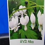 흰색금낭화 variegated