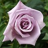 유럽 장미 묘목 아주비스 - 정원장미 