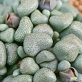 당선 묵둥이대품입니다 뿌리튼튼합니다 0211 산아래다육이|Aloinopsis schooneesii