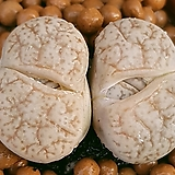 리톱스 슈도 묵둥이쌍두입니다  무늬좋아요  0223 산아래다육이|Lithops