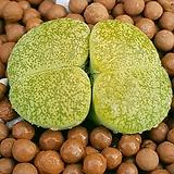 리톱스 벤타그린  묵둥이쌍두입니다   사이즈좋아요  0226 산아래다육이|Lithops