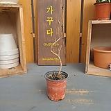 당단풍나무 소품분재|