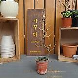 보리수나무 소품분재|