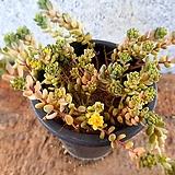 포크엔젤금 2-0750|variegated