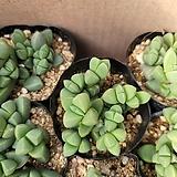 미니벽어연 Corpuscularia lehmanni
