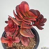 맥시코클라바타금 4631|Pachyveria clavata