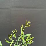 유칼립투스 블루말레 90cm 