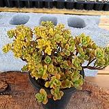 린들레이금 2-0761|Aeonium Lindleyi