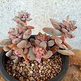 아모에나금 2-0773|Echeveria amoena