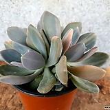석연화금 2-0774|Pachyveria Pachyphytodies