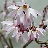 1130. 미선나무 (분홍) - 청송분 완성품, 개화주, 특산식물, 외목대 분재|