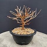 미스김라일락 소 Echeveria cv Peale von Nurnberg